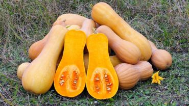 can dogs eat squash