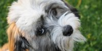 General Information About the Havanese Dog Breed