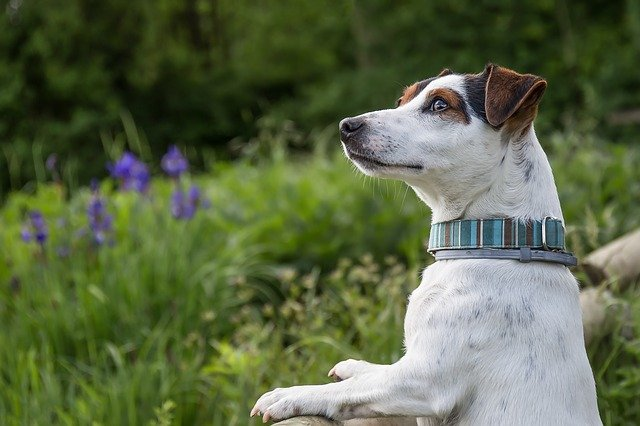 jack russel standing up