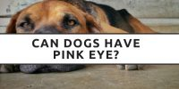Can Dogs Get Pink Eye?
