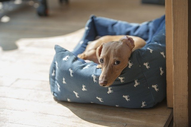 light brown dachshund laying in dog bed