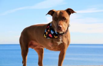 After saving her owner from a barreling train, this Pitbull now stands for hope for an entire breed of dogs!