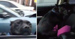 A Wet And Hungry Pitbull Jumps Into A Car To Get Something To Eat