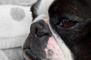 Boston Terrier