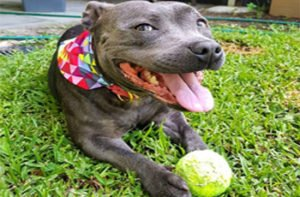 Best Dog Toys for Pit Bulls and Bully Breeds