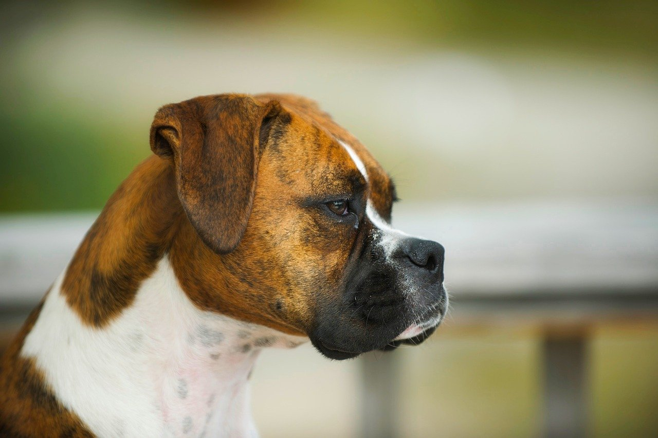 The Boxer Breed