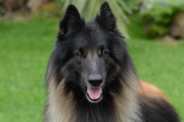 Popular Police Dog Breeds K9 Breed What Type Of Dogs Do Police Use