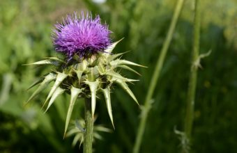 Can Dogs Have Milk Thistle