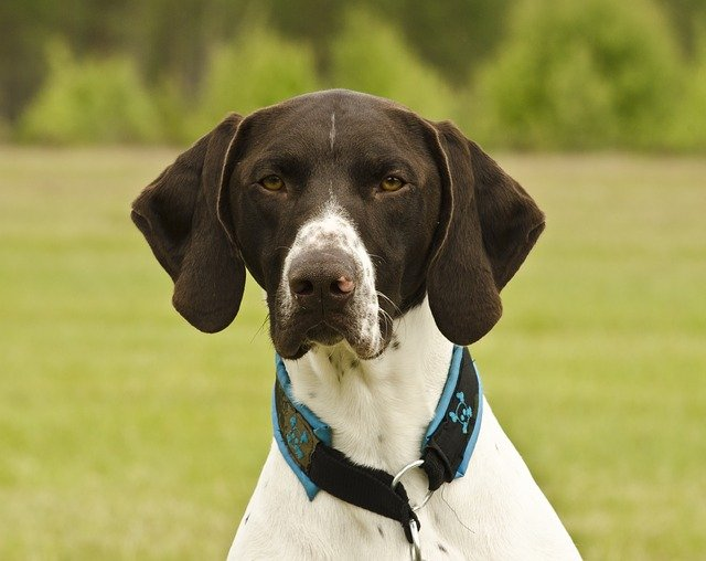 short haired german pointer k9