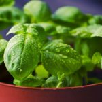 Can Dogs Eat Basil