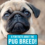 A Few Things You'd Like to Know About the Pug Breed!