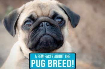 A Few Things You'd Like to Know About the Pug Breed! FEATURED