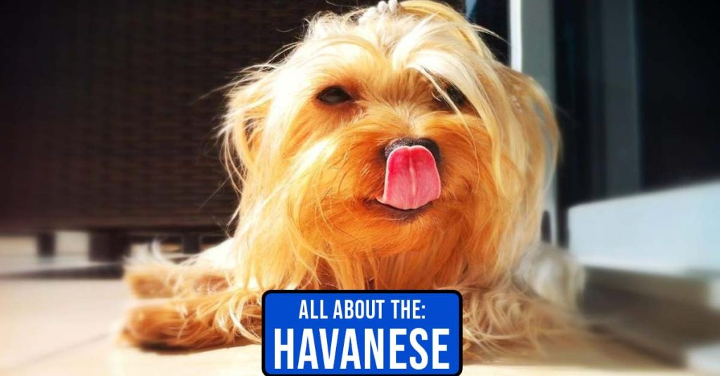 General Information About the Havanese Dog Breed Featured