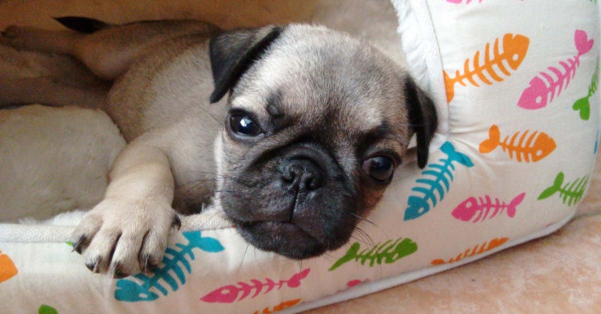 are pugs active dogs