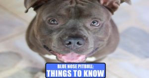Blue Nose Pitbull : Things To Know