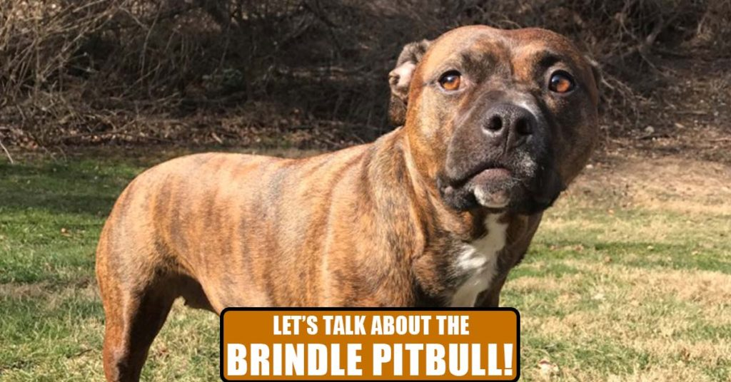 Let's Talk About the Brindle Pitbull! featured
