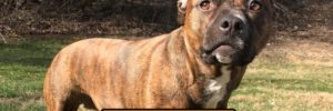 Let's Talk About the Brindle Pitbull!