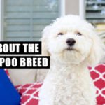 What You Should Know About About the Maltipoo
