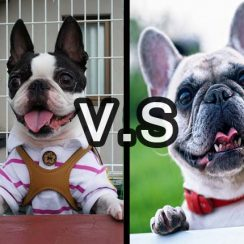 Boston Terrier & French Bulldogs – What's The Difference Between