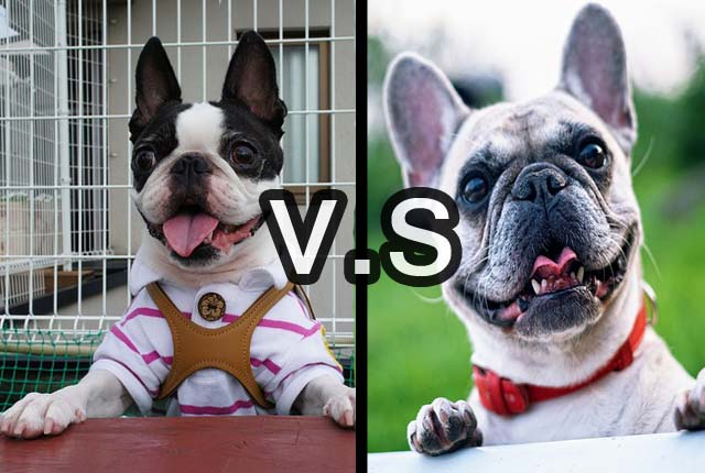 difference between french bulldog and boston terrier boston terrier french bulldogs what s the difference 4959