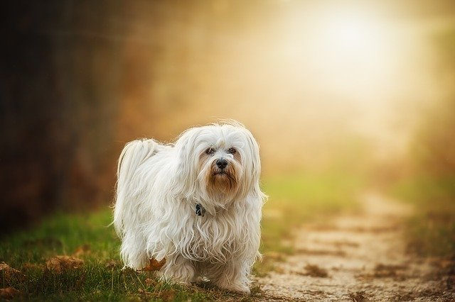 How Much Does a Havanese Cost