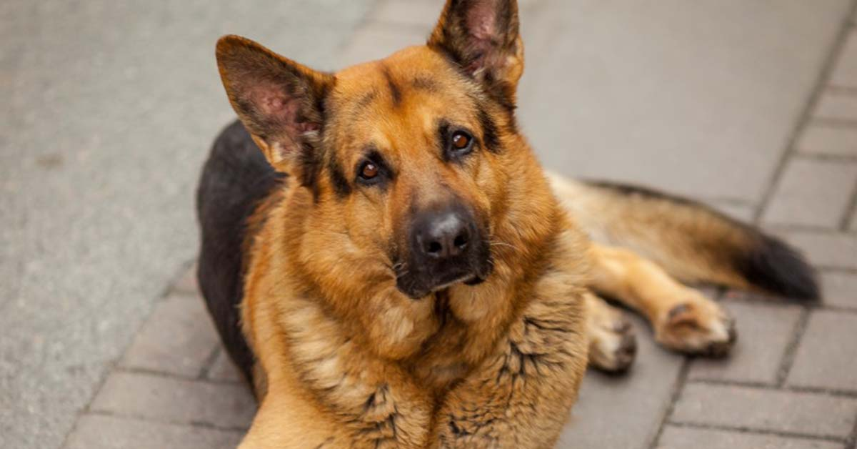 Is the German Shepherd the Right Dog for You