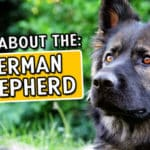 Is the German Shepherd the Right Dog for You?