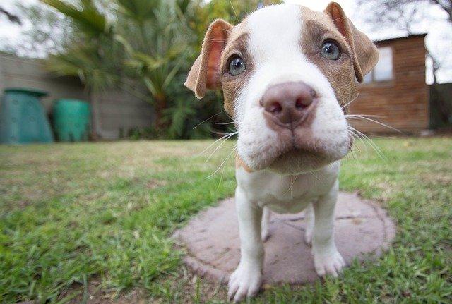 american pitbull puppy