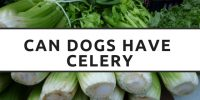 """Can Dogs Eat?…"" – Celery"