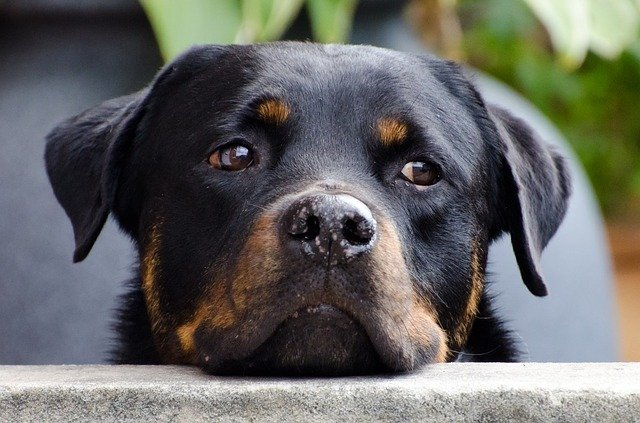 Pitbull Rottweiler Mix Also Known As The Pitweiler Pitbull