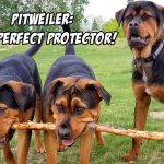 Pitwiller – Pitbull Rotweiller Mix