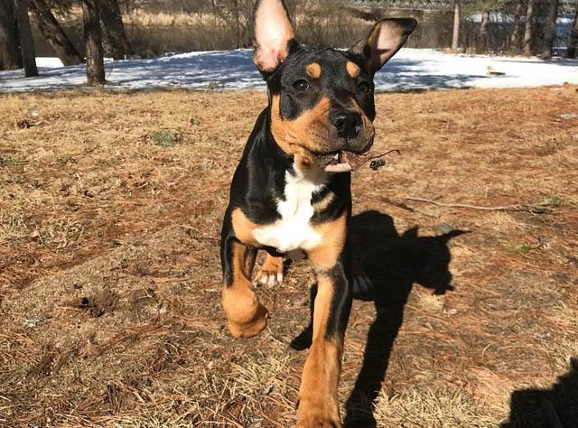 pitweiler puppy