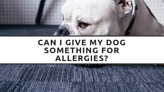 Can I Give My Dog Something For Allergies