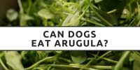 Can Dogs Eat Arugula