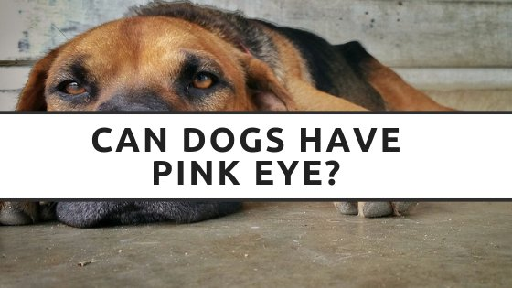 Can Dogs Have Pink Eye