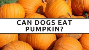Can Dogs Eat Pumpkin