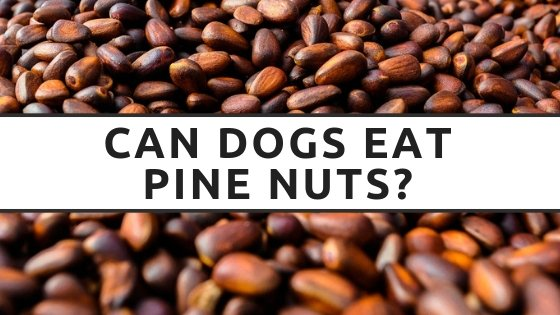 Can Dogs Eat Pine Nuts