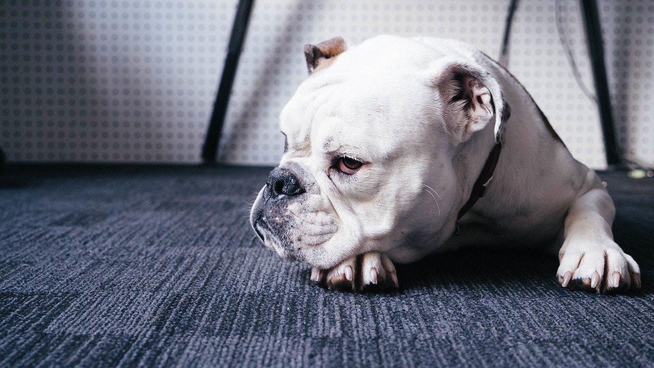 bulldog laying down on blue carpet