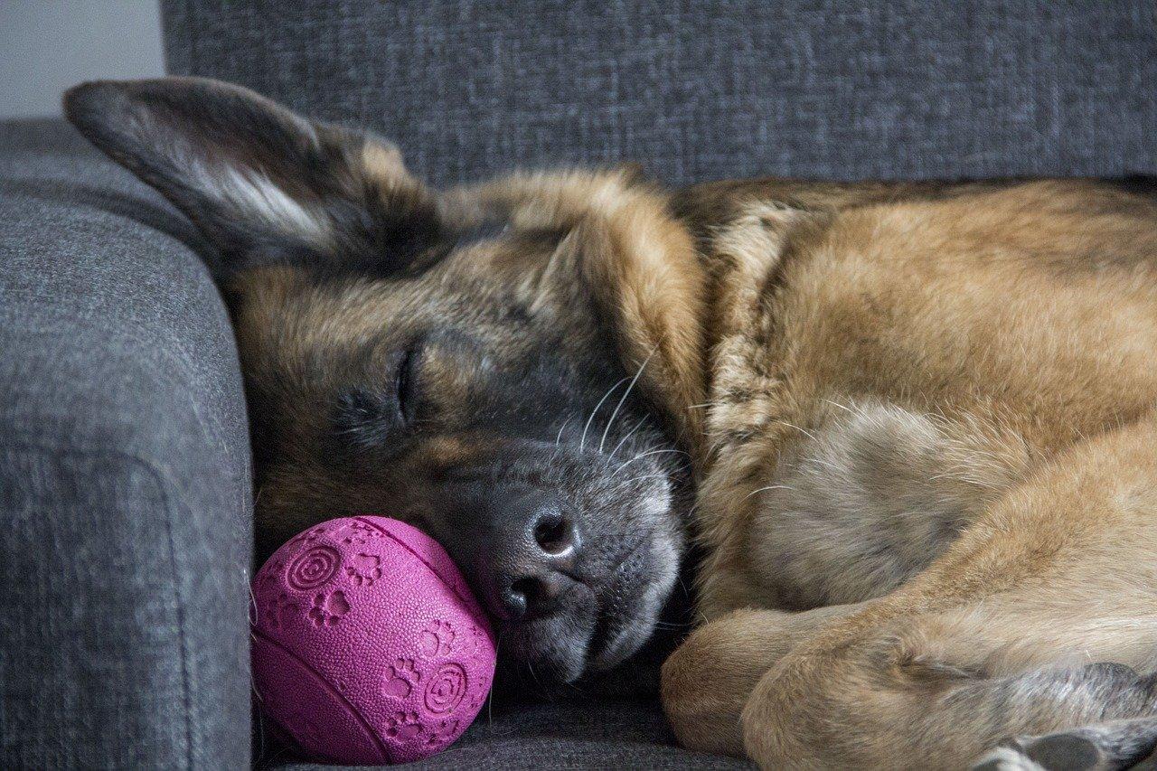german shepherd sleeping on ball