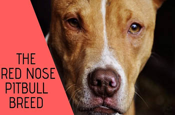 all about dogs the red nose pitbull breed