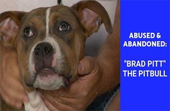 abused abandoned brad pitt the pitbull fi