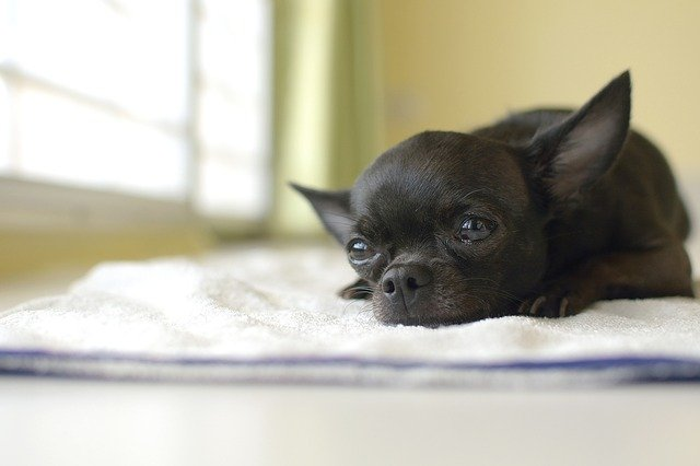 black chihuahua laying on bed