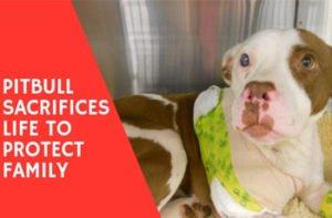 Pitbull Sacrifices Life To Protect Family