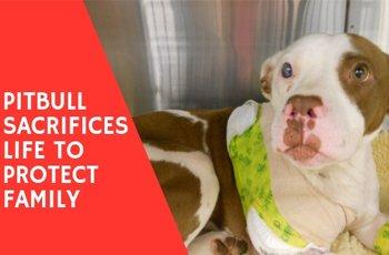 pitbull sacrifices life to protect family fi