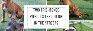 Two Frightened Pitbulls Left To Die In The Streets