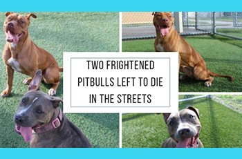 two frightened pitbulls left to die in the streets fi