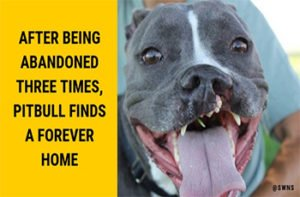 After Being Abandoned Three Times, Pitbull Finds a Forever Home