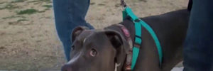 Pit Bull Owner Leaves Dog Behind In Uber Ride