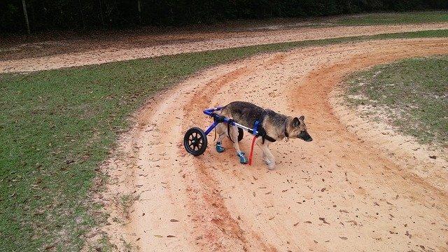 german shepherd in dog wheel chair