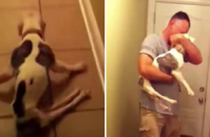Paralyzed Pitbull's Dad Arrives Home From Duty In Afghanistan